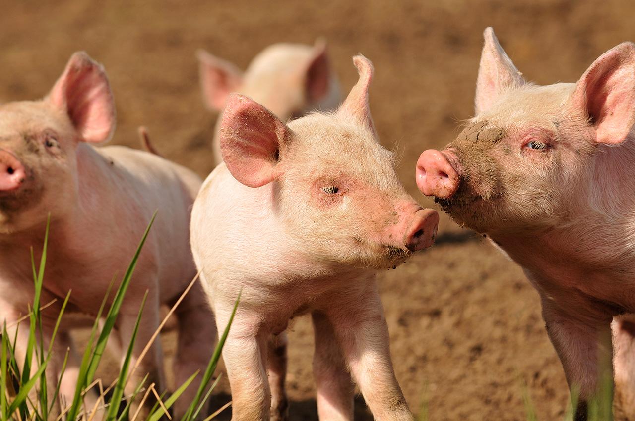 photo d'un élevage porcs