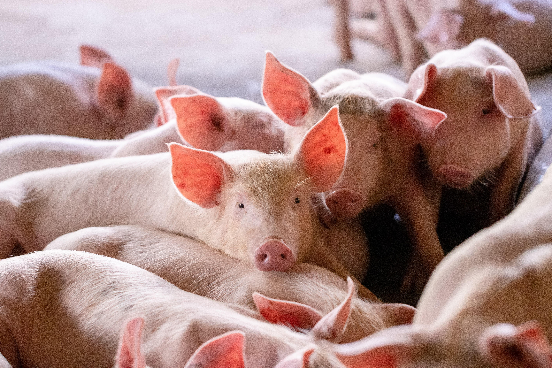 Cas de salmonelloses liés à la consommation de saucisses sèches de porc